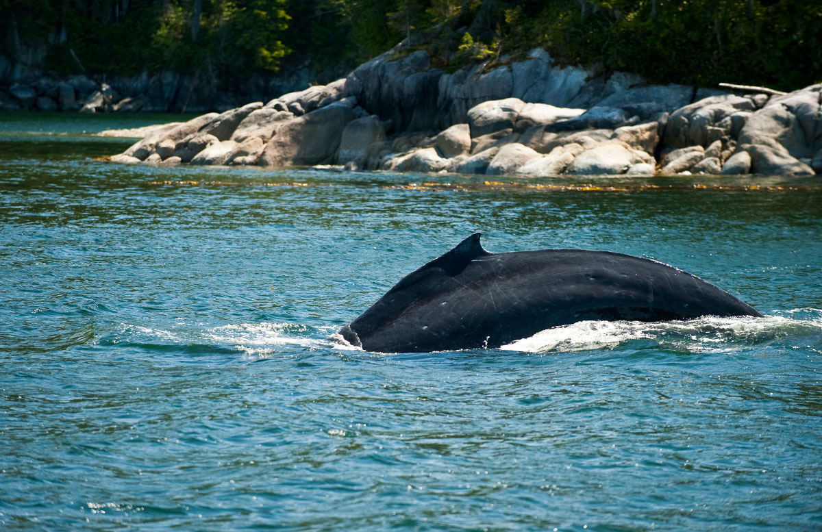 Humpback whale / Central Coast / photo by Holly Pattison